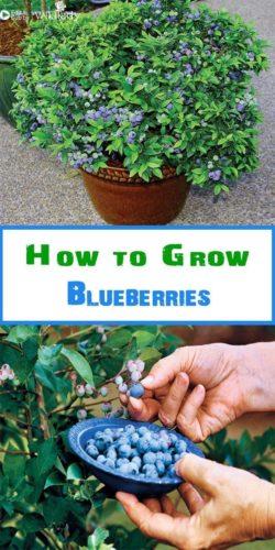 https://blog.wikilady.vn/huong-dan-trong-cay-viet-quat-blueberry-tai-nha/
