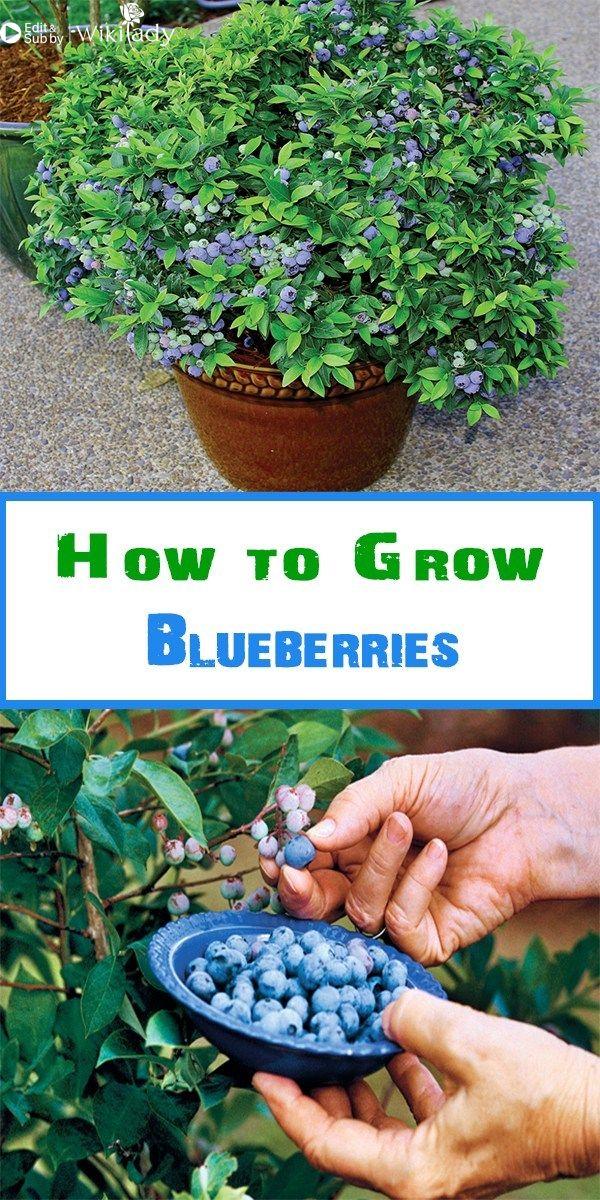 Hướng dẫn trồng cây việt quất (blueberry) tại nhà