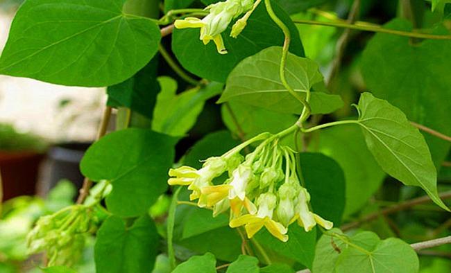 Những bài thuốc chữa bệnh tuyệt vời từ hoa thiên lý nhiều người chưa biết