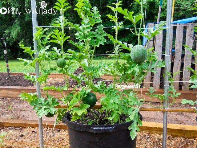 hướng dẫn trồng dưa hấu 2