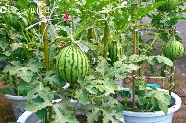hướng dẫn trồng dưa hấu 3