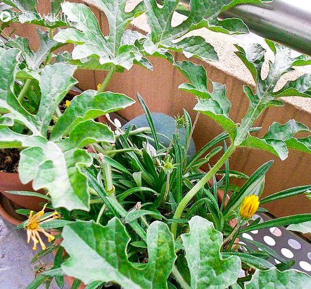 hướng dẫn trồng dưa hấu 4