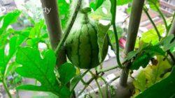 Hướng dẫn tự tay trồng dưa hấu trong chậu cây tại nhà