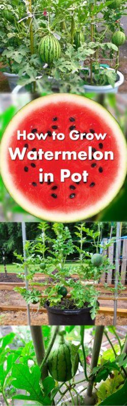hướng dẫn trồng dưa hấu 1