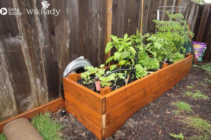 trồng ớt chuông tại nhà 2