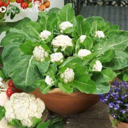 Hướng dẫn trồng súp lơ tại nhà