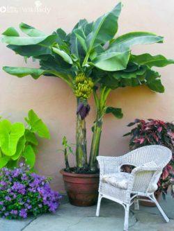Hướng dẫn tự tay trồng chuối trong chậu cây tại nhà