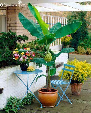 trồng chuối tại nhà 2