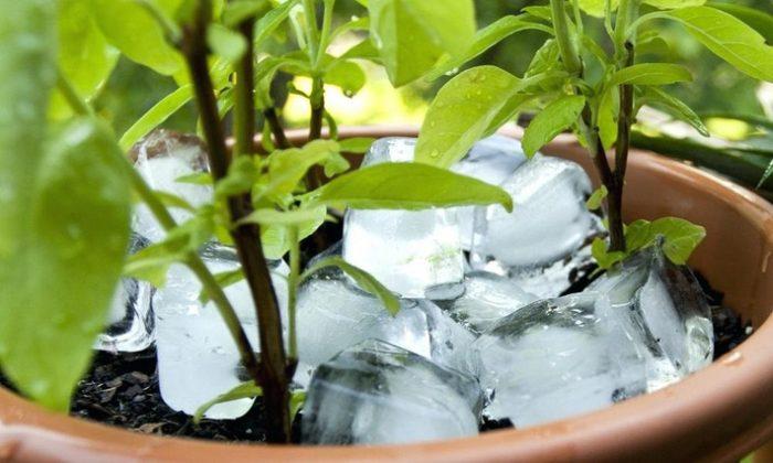 Mẹo hay chăm cây : Chăm cây vừa nhàn, vừa không lo khô khéo, ngập úng bằng đá lạnh