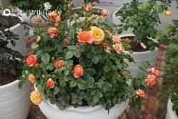 Bí quyết biến 1 cành hồng thành 1 chậu hoa trang trí nhà cửa dễ làm