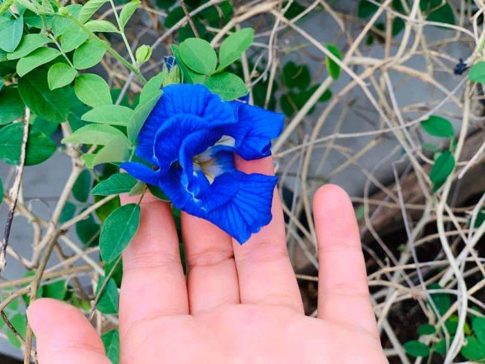 hoa đậu biếc với màu xanh biếc đẹp mắt