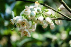 Nao lòng với các món ngon thơm ngát hương hoa bưởi